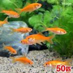 (金魚)生餌 小赤 エサ用金魚 大和郡山産(50匹