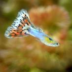 (熱帯魚)プラチナアクアマリンモザイク・グッピー(国産グッピー)(1ペア) 北海道・九州・沖縄航空便要保温
