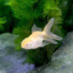 (国産金魚)アルビノオランダ獅子頭/アルビノオランダシシガシラ(1匹)