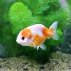 (国産金魚)桜錦(1匹)