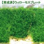 (水草)育成済 ウィローモス プレート(無農薬)(3個) 北海道航空便要保温