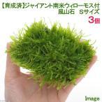 (水草)育成済 ジャイアント南米ウィローモス付 風山石 Sサイズ(無農薬)(3個)