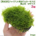 (水草)育成済 ジャイアント南米ウィローモス付 風山石 Mサイズ(無農薬)(3個)