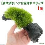 (水草)育成済 リシア付き流木 Sサイズ(無農薬)(1本)