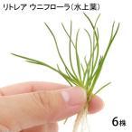 (水草)リトレラ ウニフローラ(水上葉)(無農薬)(6株)