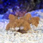 (海水魚 サンゴ)沖縄産 ヌメリトサカ Sサイズ(1個) 北海道・九州・沖縄航空便要保温