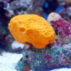 (海水魚 無脊椎)沖縄産 オレンジスポンジ SMサイズ(1個) 北海道・九州・沖縄航空便要保温