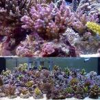 (海水魚 サンゴ)浅場ミドリイシ おまかせ品種(ブリード)(1個) 北海道・九州・沖縄航空便要保温
