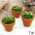 (食虫植物)ミニ食虫盆栽 ver.ハエトリソウ(1鉢)