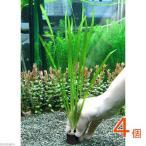 (水草)マルチリング・ブラック(黒) バリスネリア スピラリス(無農薬)(4個)