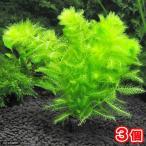 (水草)メダカ・金魚藻 マルチリング・ブラック(黒) ウトリクラリア アウレア(ノタヌキモ)(3個)