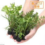 (水草)置くだけ簡単 マルチリング・ブラック(黒) おまかせ有茎草10種(水上葉)(無農薬)(計10個)