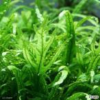 (水草)ミクロソリウムsp.トライデント バラ(水中葉)(3株分) 北海道航空便要保温