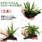 (水草)ミクロソリウム&ウィローモス付 流木(約15cm前後)(3本)