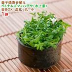 (水草)益子焼寄せ植え ベトナムゴマノハグサ(水上葉) 苔BOX 炭化 丸 小(無農薬)(1鉢)