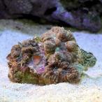 (海水魚 サンゴ)ディスクコーラル ミックス Sサイズ(1個)