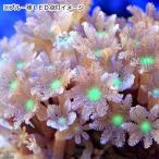 (海水魚 サンゴ)沖縄産 ツツウミヅタ ヘアリーセンターグリーン SSサイズ(1個) 北海道・九州航空便要保温