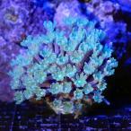 (海水魚 サンゴ)沖縄産 ツツウミヅタ ヘアリーポリプライトグリーン Sサイズ(1個) 北海道・九州航空便要保温