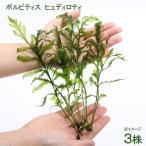 (水草)ボルビティス ヒュディロティ(無農薬)(3株)