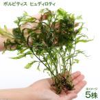 (水草)ボルビティス ヒュディロティ(無農薬)(5株)