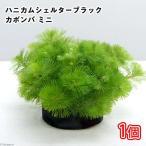(水草)メダカ・金魚藻 ブラックハニカムシェルター カボンバ ミニ(1個)