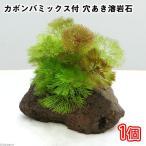(水草)メダカ・金魚藻 カボンバミックス付き 穴あき溶岩石(1個) 北海道航空便要保温