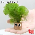 (水草)メダカ・金魚藻 チャー坊 カボンバ(1個)