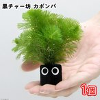 (水草)メダカ・金魚藻 黒チャー坊 カボンバ(1個)
