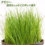 (観葉)チモシー 直径8cmECOポット植え(無農薬)(1ポット) 猫草
