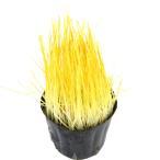 (観葉)不思議な食感 やみつきイタリアンライグラス 直径8cmECOポット植え(無農薬)(1ポット) 猫草