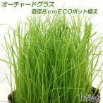 (観葉)オーチャードグラス 直径8cmECOポット植え(無農薬)(1ポット) 猫草