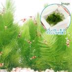 (水草)ウィローモス 1パック+マツモ(5本)(無農薬)(1セット) 北海道航空便要保温