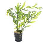 (水草)(ポット売り)ボルビティス ヒュディロティ(無農薬)(3ポット)