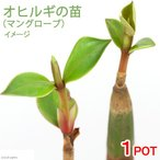 (観葉)オヒルギ(雄蛭木)(マングローブ)の苗 3.5〜4.5号(1ポット)