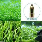 (水草 熱帯魚)人気の水草 3種セット CO2ボンベ5本付き 本州・四国限定