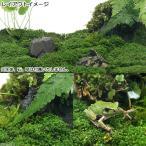 (水草)ビバリウム用キューバパールグラス陸生コケミックス(水上葉)キューブタイプ(約4cm)(無農薬)(1個) 北海道航空便要保温