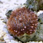 (海水魚 サンゴ)ディスクコーラル ミックス シングル(1個)