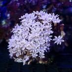 (海水魚 サンゴ)沖縄産 ツツウミヅタ スノーポリプ(1個) 北海道・九州・沖縄航空便要保温