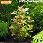 (水草)半水中葉 ルドウィジア オバリス(ミズユキノシタ)鉛巻き(無農薬)(1個)