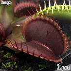 (食虫植物)ハエトリソウ 赤系ロゼット 3号(1ポット)