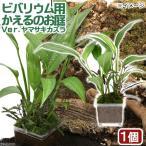 (テラリウム)ビバリウム用 かえるのお庭 Ver.ヤマサキカズラ(水上葉)(無農薬)(1個) 本州四国限定