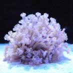 (海水魚 サンゴ)(B品)ハナガササンゴ おまかせカラー Sサイズ(1個) 北海道航空便要保温