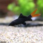 (熱帯魚)レッドテール・ブラックシャーク(1匹) 北海道・九州・沖縄航空便要保温