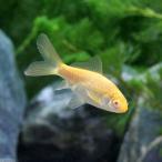 (国産金魚)アルビノコメット(1匹)