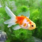 (国産金魚)桜東錦(1匹)