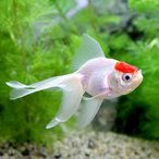 (国産金魚)丹頂(3匹)