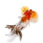 (国産金魚)キャリコ水泡眼 (1匹)