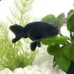 (金魚)黒らんちゅう(クロランチュウ)(タイ産)(5匹) 北海道・九州航空便要保温