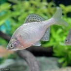 (淡水魚)ゼニタナゴ Sサイズ(1匹)