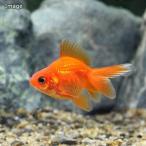 (国産金魚)紅葉琉金(1匹)